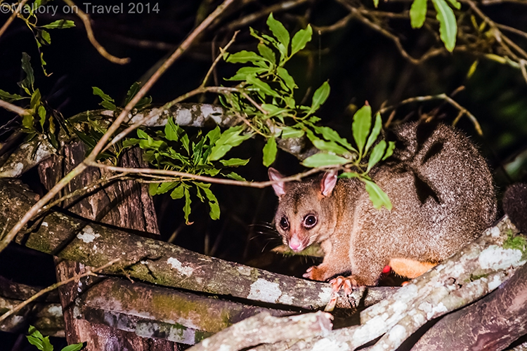 Possum in Broken River Mountain Resort in Eungella National Park, Queensland, Australia on Mallory on Travel adventure, adventure travel, photography Iain Mallory-241 possum_eungella