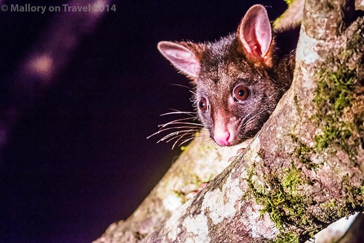Possum in Broken River Mountain Resort in Eungella National Park, Queensland, Australia on Mallory on Travel adventure, adventure travel, photography Iain Mallory-240 possum_eungella