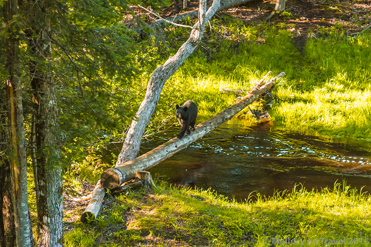 Bear whisperer in New Brunswick, Canada, a large black bear hugging a tree on Mallory on Travel adventure, adventure travel, photography Iain Mallory-300-25 bear_cub