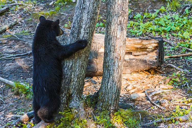 Bear whisperer in New Brunswick, Canada, a large black bear hugging a tree on Mallory on Travel adventure, adventure travel, photography Iain Mallory-300-30 black_bear
