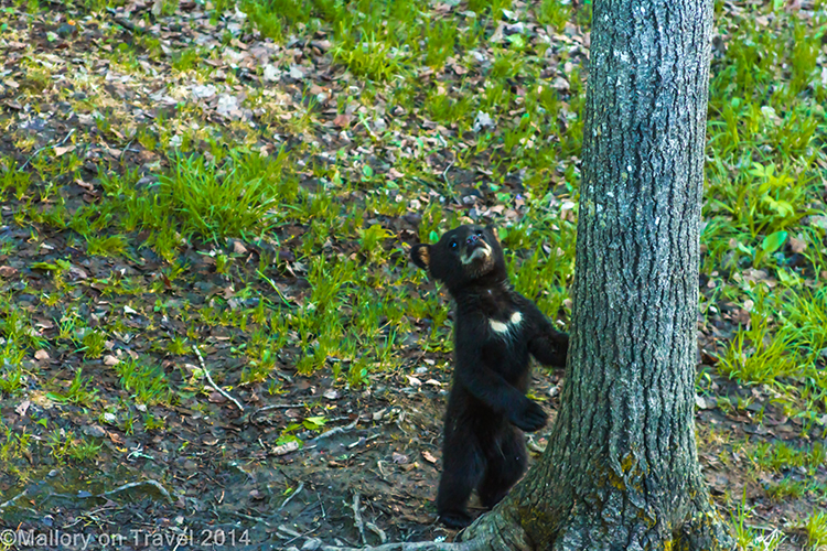 Bear whisperer in New Brunswick, Canada, a large black bear cub on Mallory on Travel adventure, adventure travel, photography Iain Mallory-300-47 bear_cub