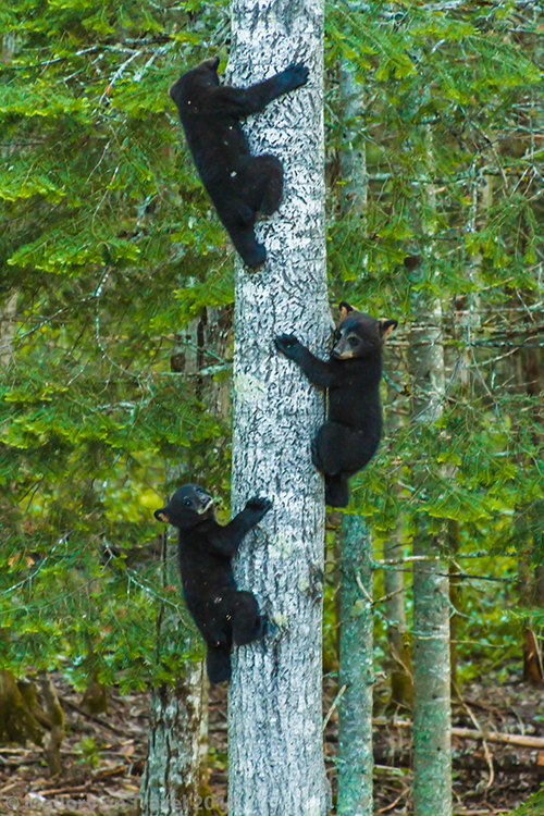 Bear whisperer in New Brunswick, bear cubs descending a tree  on Mallory on Travel adventure, adventure travel, photography Iain Mallory-300-50 bear_cubs