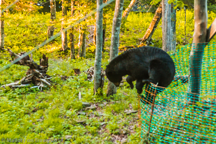 Bear whisperer in New Brunswick, Canada, a black bear climbing a fence on Mallory on Travel adventure, adventure travel, photography Iain Mallory-300-53 climbing_bear