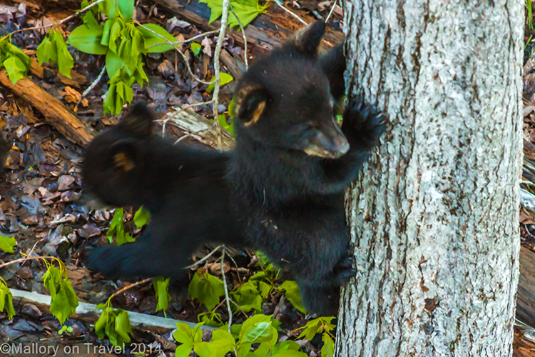Bear whisperer in New Brunswick, bear cubs descending a tree  on Mallory on Travel adventure, adventure travel, photography Iain Mallory-300-54 bear_cubs