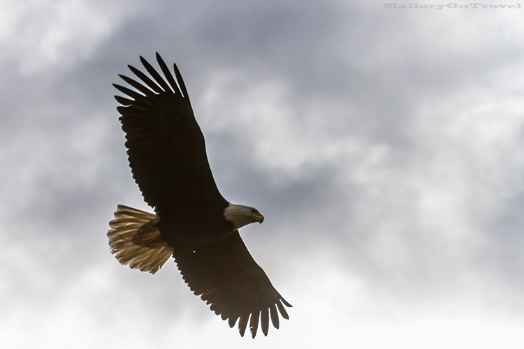 Soaring bald eagle in Khutzeymateen Grizzly Bear Sanctuary off Prince Rupert in British Columbia, Canada on Mallory on Travel adventure, adventure travel, photography Iain Mallory-100 bald_eagle