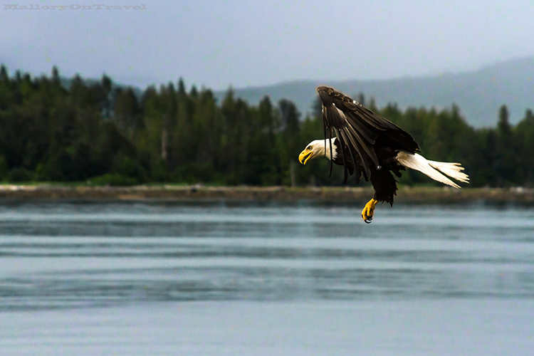 A bald eagle in Khutzeymateen Grizzly Bear Sanctuary off Prince Rupert in British Columbia, Canada on Mallory on Travel adventure, adventure travel, photography Iain Mallory-143 bald_eagle