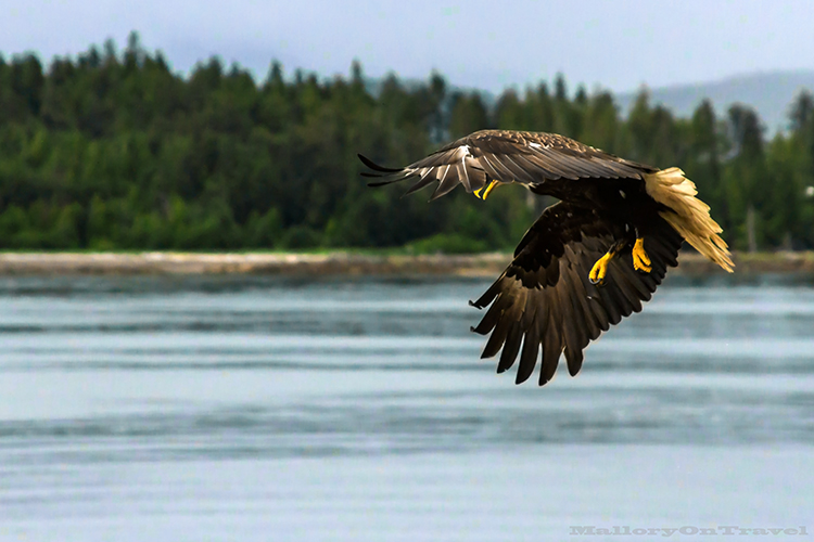 Wheeling bald eagle in Khutzeymateen Grizzly Bear Sanctuary off Prince Rupert in British Columbia, Canada on Mallory on Travel adventure, adventure travel, photography Iain Mallory-144 bald_eagle