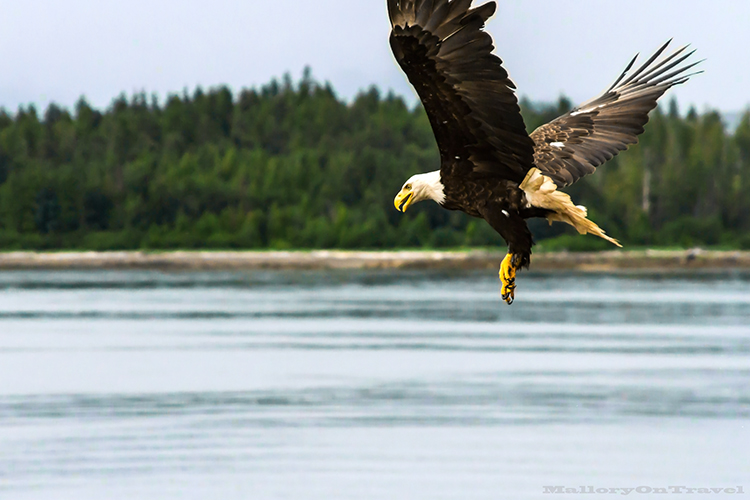 Diving bald eagle in Khutzeymateen Grizzly Bear Sanctuary off Prince Rupert in British Columbia, Canada on Mallory on Travel adventure, adventure travel, photography Iain Mallory-145 bald_eagle