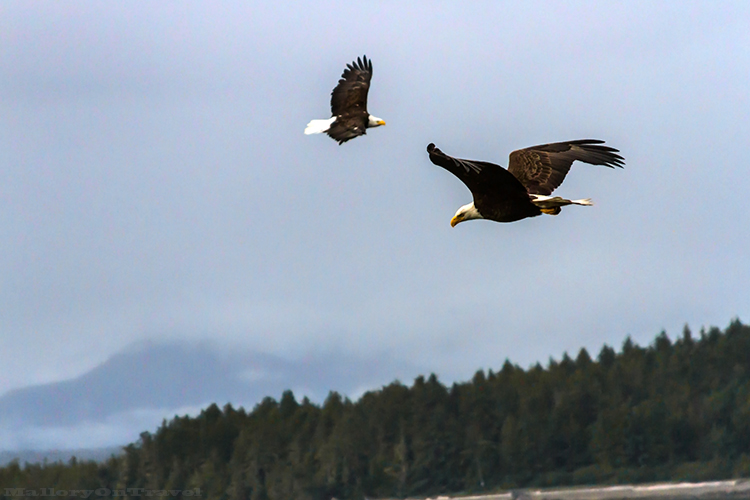 Pair of bald eagles in Khutzeymateen Grizzly Bear Sanctuary off Prince Rupert in British Columbia, Canada on Mallory on Travel adventure, adventure travel, photography Iain Mallory-51 bald_eagles