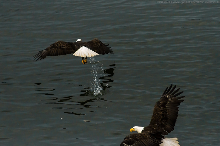 Pair of bald eagles in Khutzeymateen Grizzly Bear Sanctuary off Prince Rupert in British Columbia, Canada on Mallory on Travel adventure, adventure travel, photography Iain Mallory-94 bald_eagles