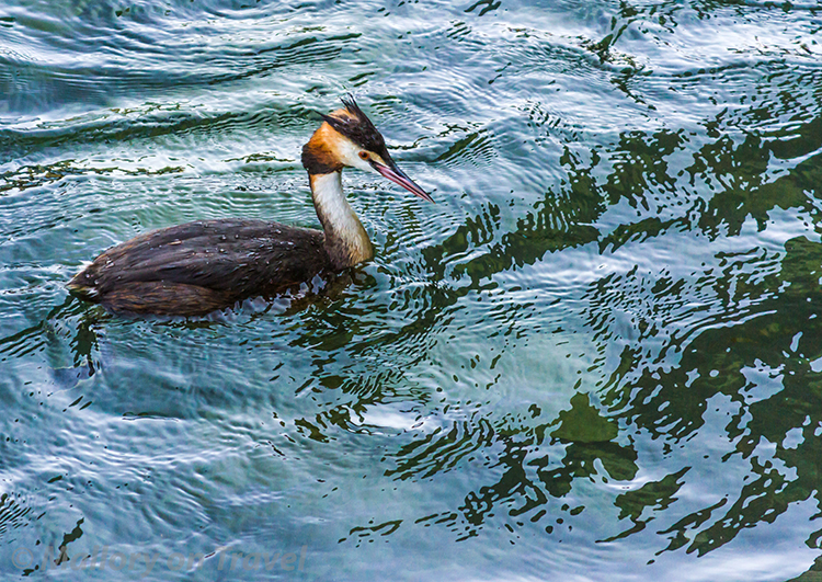Great Crested Grebe on the River Limmat in Zurich, Switzerland on Mallory on Travel adventure, adventure travel, photography Iain Mallory-300-32 great_crested_grebe
