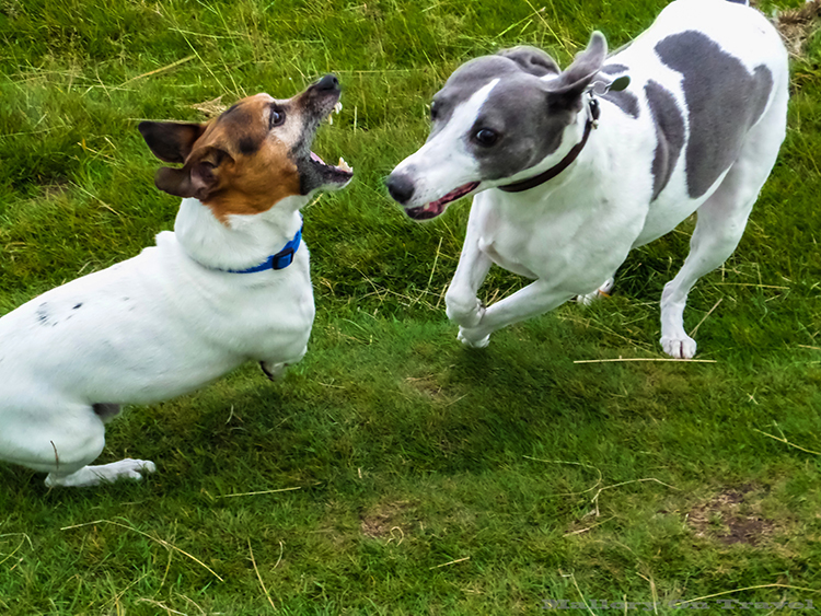 Dogs play fighting in Lyme Park, Disley in Cheshire on Mallory on Travel adventure, adventure travel, photography Iain_Mallory_Lyme1401758 lyme_park.jpg