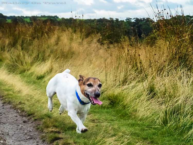 A jack russell in Lyme Park, Disley in Cheshire on Mallory on Travel adventure, adventure travel, photography Iain_Mallory_Lyme1401795 lyme_park.jpg