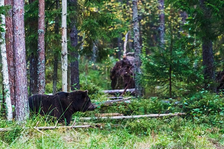 A brown bear in the Alutaguse region of Estonia on Mallory on Travel adventure, adventure travel, photography Iain_Mallory_224 black_bear