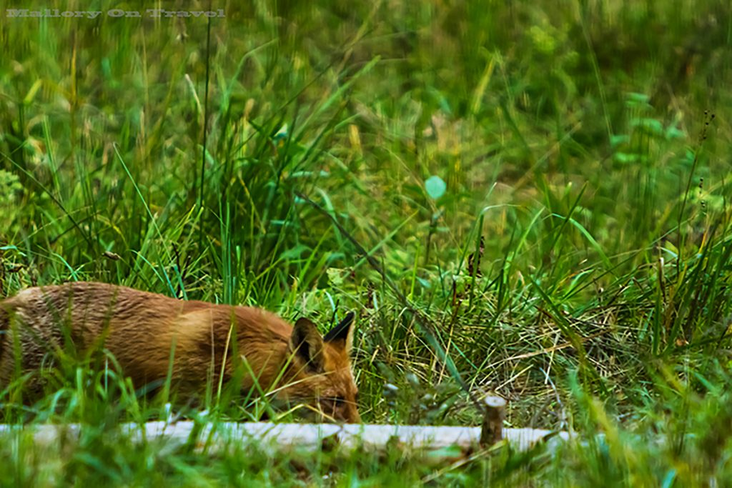 A woodland fox in the Alutaguse region of Estonia on Mallory on Travel adventure, adventure travel, photography Iain_Mallory_87 woodland_fox