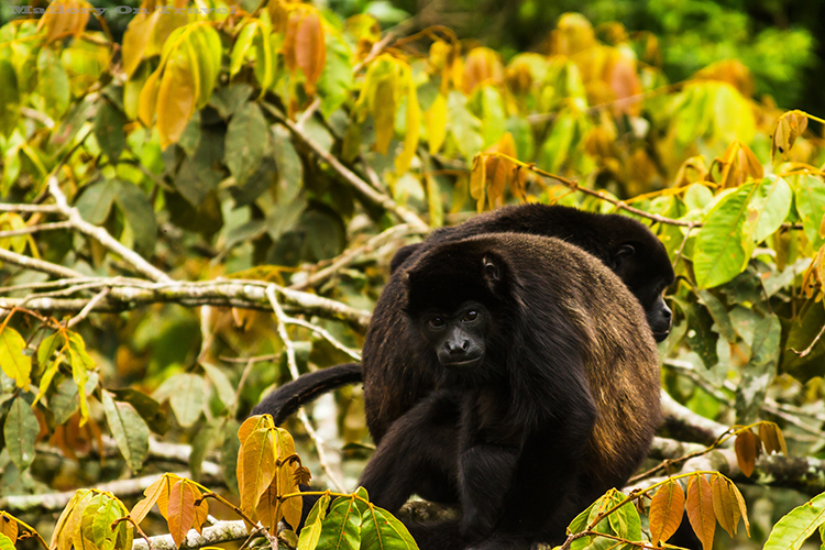 A howler monkey in the cloudforest of Monteverde in Costa Rica, in Central America on Mallory on Travel adventure, adventure travel, photography Iain_Mallory_9174 howler_monkey A large type of Monkey. Named because they are louder than any other types of Monkey. They often call at sunrise, and sunset. They also howl to warn of dangers. They are believed to be the loudest of all land animals. They have a long tail, growing to the same size as their body. They have a tail that they can use to pick up items with. They can see in all colors just like humans do. They are large in size and move very slowly.