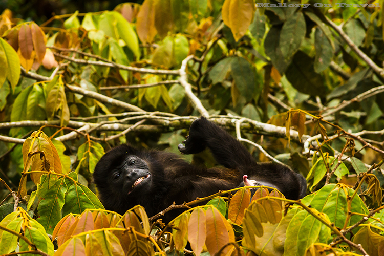 A sexually aroused male howler monkey in the cloudforest of Monteverde in Costa Rica, in Central America on Mallory on Travel adventure, adventure travel, photography Iain_Mallory_9186 howler_monkey A large type of Monkey from the americas. Known for their loud call. They often sound the alarm when danger is around. Their long tail, grows as long as their body. They can use it to pick up items with. They can see in all colors just like us. They are large and move very slowly.