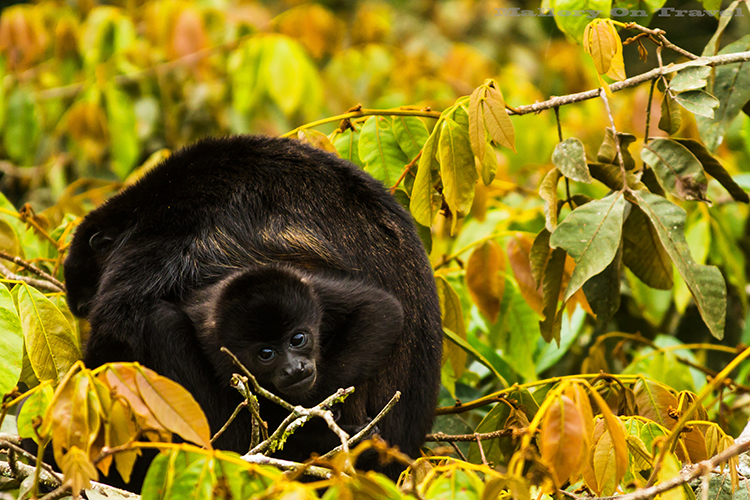A howler monkey mother and baby in the cloudforest of Monteverde in Costa Rica, in Central America on Mallory on Travel adventure, adventure travel, photography Iain_Mallory_9192 howler_monkey A large type of Monkey from the americas. Known for their loud call. They often sound the alarm when danger is around. Their long tail, grows as long as their body. They can use it to pick up items with. They can see in all colors just like us. They are large and move very slowly.