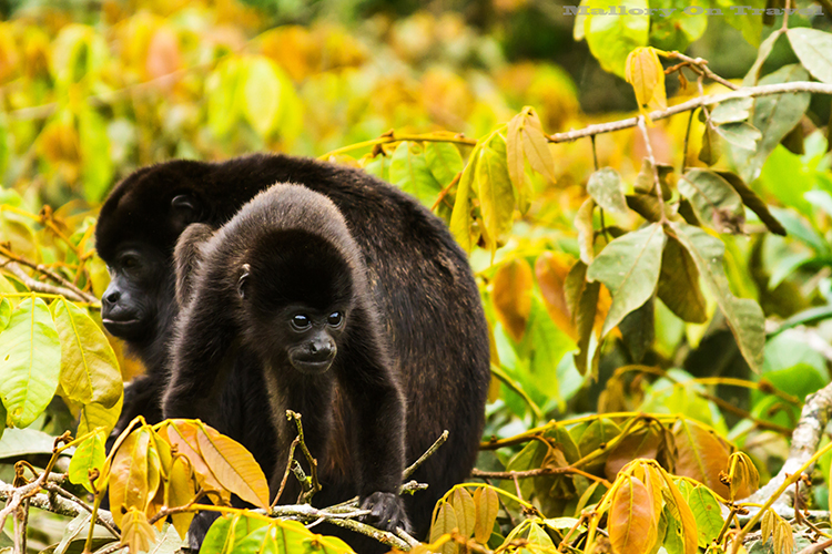 A howler monkey baby in the cloudforest of Monteverde in Costa Rica, in Central America on Mallory on Travel adventure, adventure travel, photography Iain_Mallory_9197 howler_monkey A large type of Monkey from the americas. Known for their loud call. They often sound the alarm when danger is around. Their long tail, grows as long as their body. They can use it to pick up items with. They can see in all colors just like us. They are large and move very slowly.