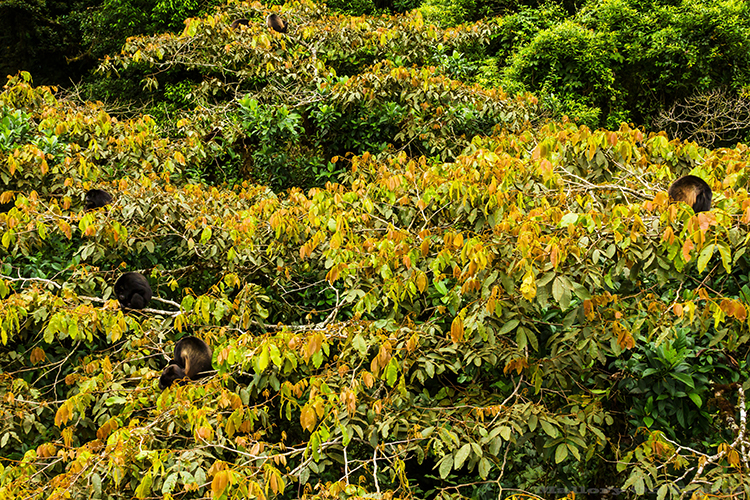 A howler monkey troop in the cloudforest of Monteverde in Costa Rica, in Central America on Mallory on Travel adventure, adventure travel, photography Iain_Mallory_9231 howler_monkeys A large type of New World Monkey. Named because they are louder than any other types of Monkey. They often call at sunrise, and sunset. They also howl to warn of dangers. They are believed to be the loudest of all land animals. They have a long tail, growing to the same size as their body. They have a tail that they can use to pick up items with. They can see in all colors just like humans do. A genetic difference accounts for this ability. They are large in size and move very slowly. They don't have the swiftness and agility of most monkeys