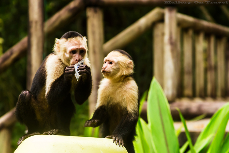 White-faced capuchin monkey raiding party at Tortuguera National Park, Costa Rica in Central America on Mallory on Travel adventure, adventure travel, photography Iain_Mallory_CR1404067