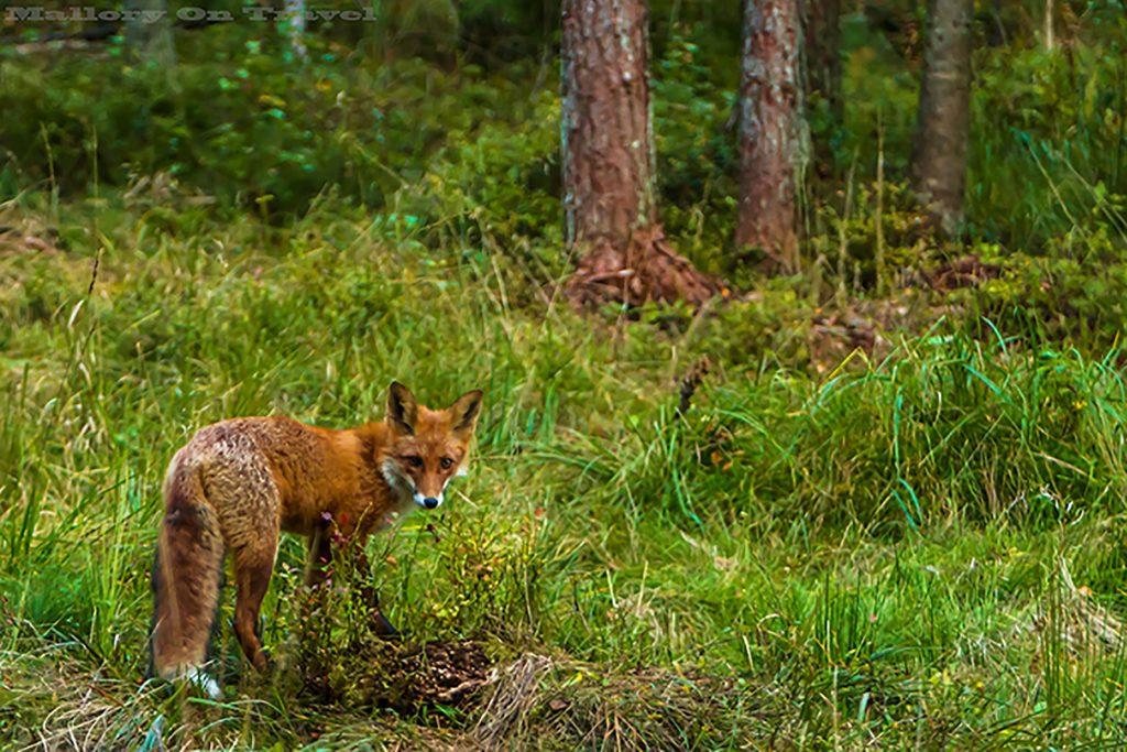 A woodland fox in the Alutaguse region of Estonia on Mallory on Travel adventure, adventure travel, photography Iain_Mallory_Est1402263 woodland_fox