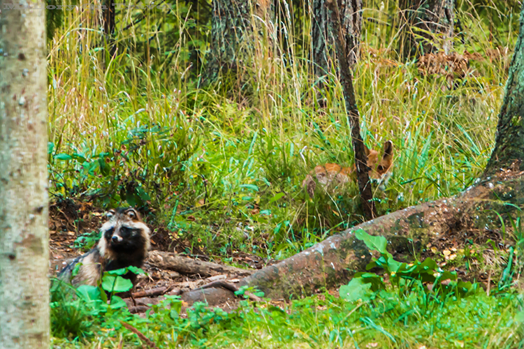 A woodland fox and raccoon dogs in the Alutaguse region of Estonia on Mallory on Travel adventure, adventure travel, photography Iain_Mallory_Est1402315 estonian_wildlife