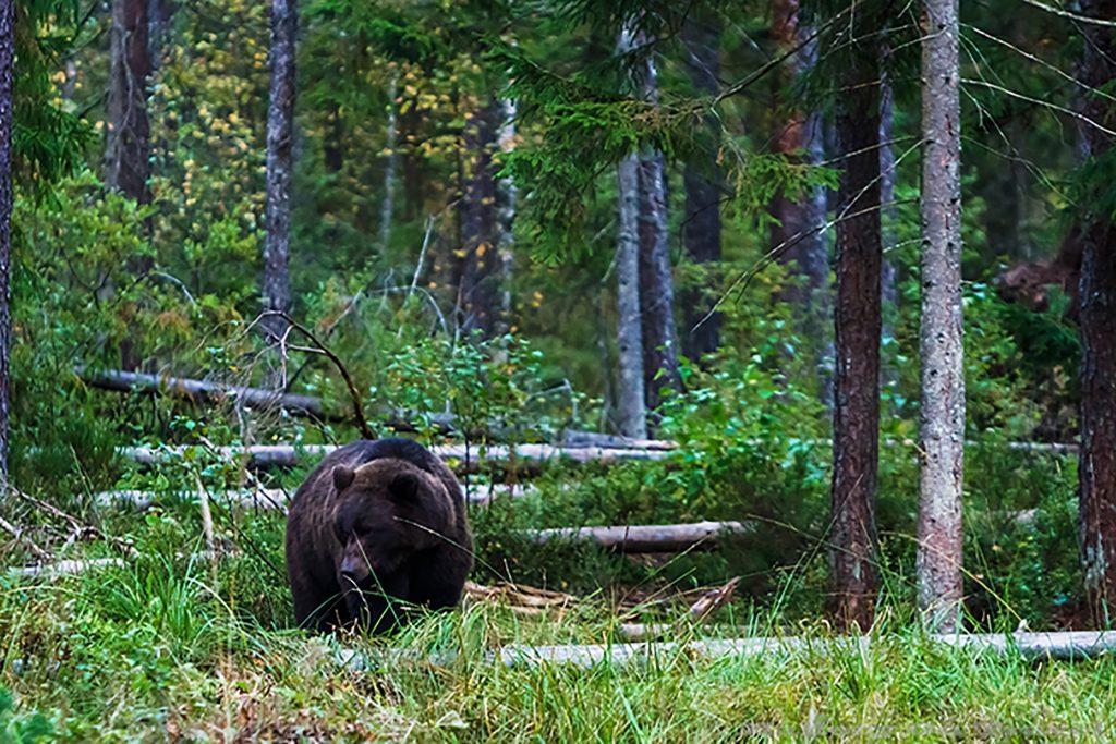 A brown bear in the Alutaguse region of Estonia on Mallory on Travel adventure, adventure travel, photography Iain_Mallory_Est1402378 black_bear