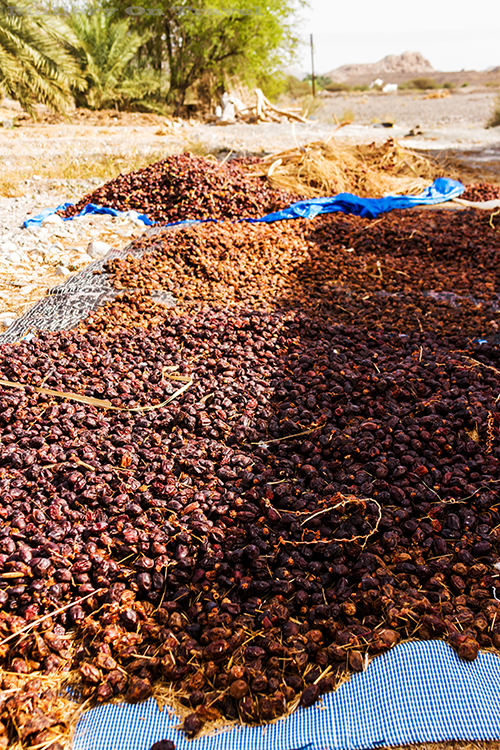 Dates drying in the sun, the Sultanate of Oman on Mallory on Travel adventure, adventure travel, photography Iain Mallory-CR1405567 nizwa_oman