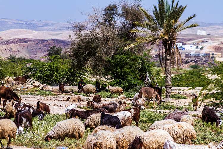 Shepherd and his flock on the Amman to Dead Sea road in the middle eastern state of Jordan on Mallory on Travel adventure, adventure travel, photography Iain_Mallory_Jordan1409133