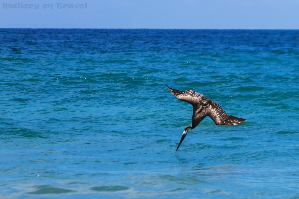 Brown pelicans diving and fishing off the beach of San Pancho, Riviera Nayarit, Puerto Vallarta in Mexico on Mallory on Travel adventure travel, photography, travel Iain_Mallory_Mex16848