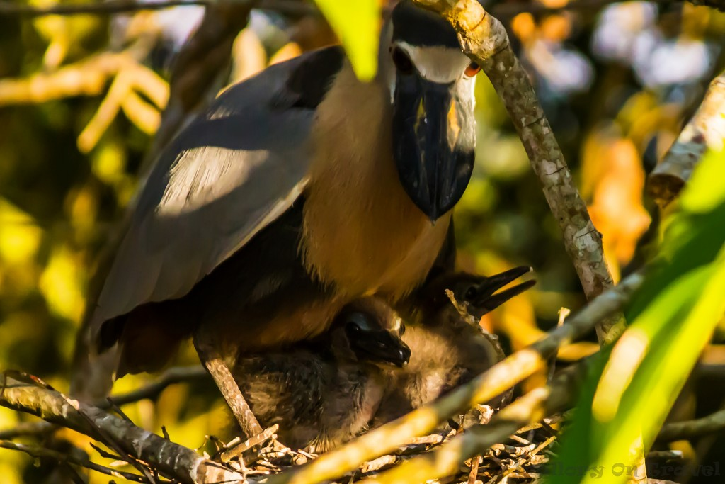 Boat-billed heron and chicks San Blas mangrove swamps north of Puerto Vallarta in the Pacific Nayarit region of Mexico on Mallory on Travel adventure travel, photography, travel Iain_Mallory_Mex17636
