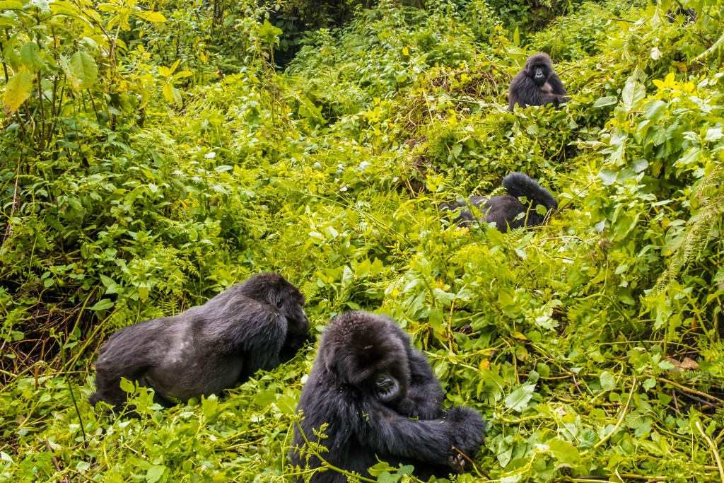 The Titus gorilla troop in Volcano National Park, Rwanda in east Africa on Mallory on Travel adventure travel, photography, travel Iain_Mallory_Rwanda-2225