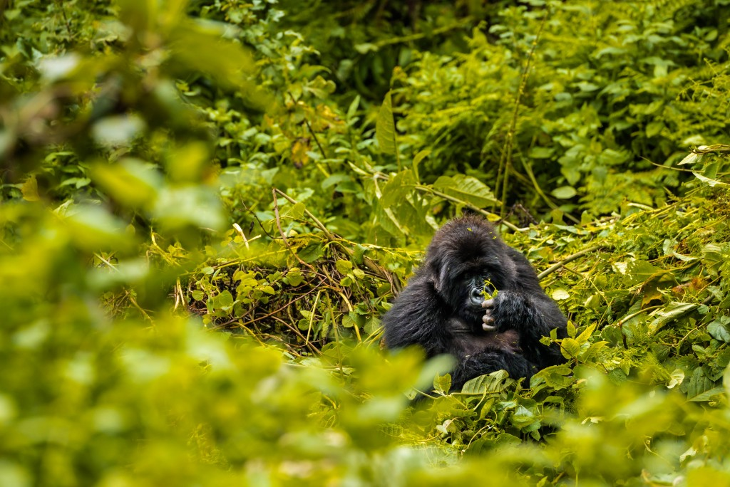 Blackback gorilla of the Titus troop, Volcano National Park in Rwanda in east Africa on Mallory on Travel adventure travel, photography, travel Iain_Mallory_Rwanda-9185