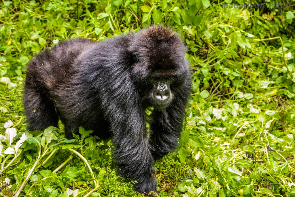 A juvenile blackback gorilla of the Titus troop in Volcano National Park, Rwanda in east Africa on Mallory on Travel adventure travel, photography, travel Iain_Mallory_Rwanda-9393