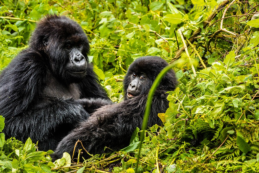 A dream come true; Juvenile gorillas of the Titus troop in Volcano National Park in Rwanda, east Africa on Mallory on Travel adventure travel, photography, travel Iain_Mallory_Rwanda-9616a