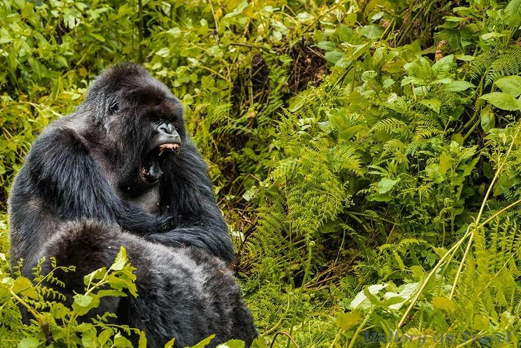 Second silverback gorilla of the Titus troop in Volcano National Park, Rwanda in east Africa on Mallory on Travel adventure travel, photography, travel Iain_Mallory_Rwanda-9772a