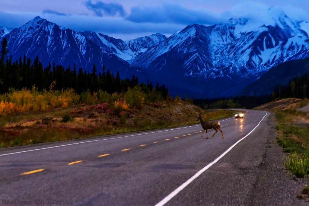 Deer crossing the Alaska Highway near Haines Junction on the way to Whitehorse, The Yukon, Canada on Mallory on Travel adventure travel, photography, travel Iain_Mallory_Yukon1412758