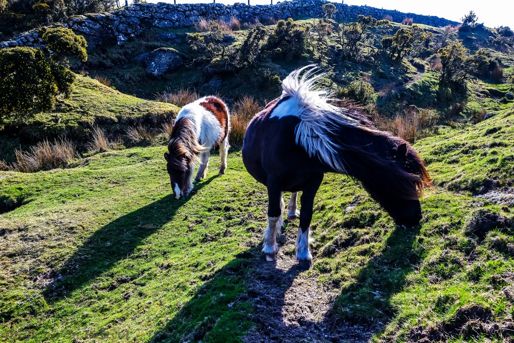 Ponies grazing in Dartmoor National Park in Devon on Mallory on Travel adventure travel, photography, travel Scilly Isles-116