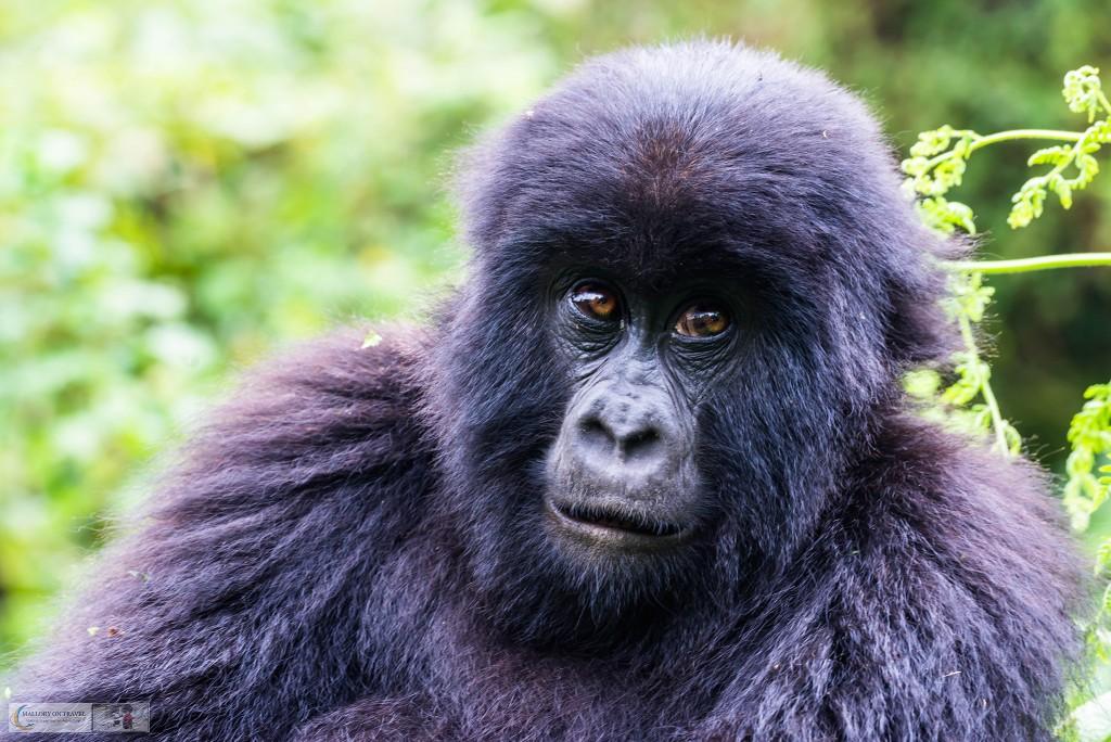 Gorilla trekking safari in Volcano National Park in north Rwanda in east Africa on Mallory on Travel adventure travel, photography, travel Iain_Mallory_Rwanda-9736