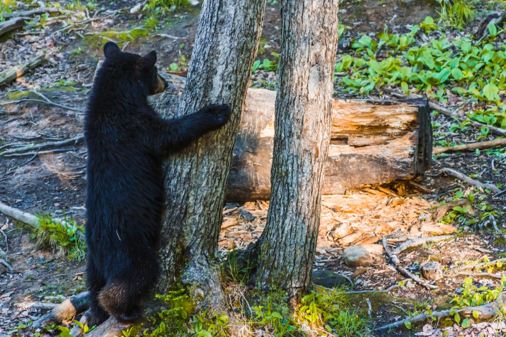 World Wildlife Day; A young black bear in the woods of New Brunswick, The Maritimes of Canada on Mallory on Travel adventure travel, photography, travel Iain Mallory-worldwildlifeday300-30