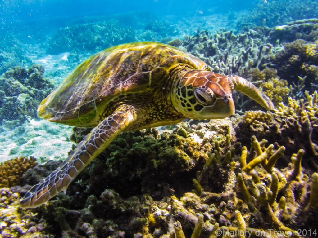 World Wildlife Day; A turtle swimming on the Great Barrier Reef, Lady Elliot Island, Queensland in Australia on Mallory on Travel adventure travel, photography, travel Iain Mallory-worldwildlifeday300-42