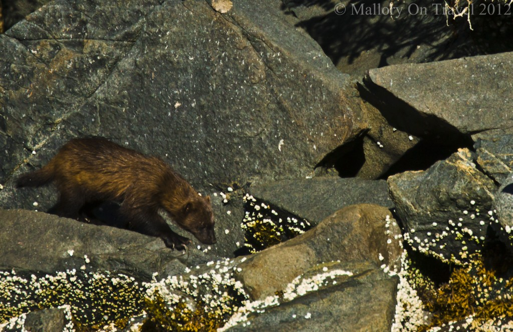 World Wildlife Day; A wolverine in the Great Bear Rainforest, British Columbia in Canada on Mallory on Travel adventure travel, photography, travel Iain Mallory-worldwildlifeday300-5