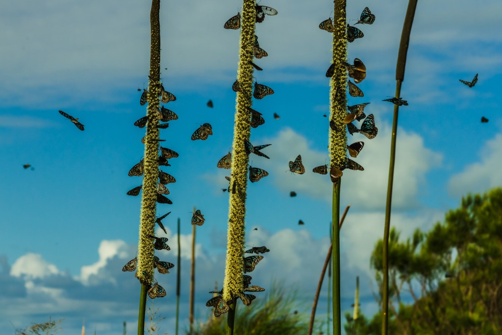 World Wildlife Day; Migrating butterflies on Keswick Island in the Whitsundays in Queensland, Australia on Mallory on Travel adventure travel, photography, travel Iain Mallory-worldwildlifeday300-5 (4)