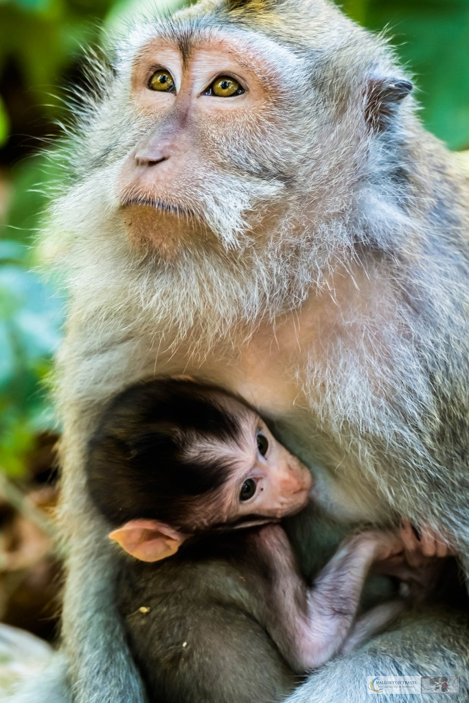 Mother and baby Balinese long-tailed monkeys at the Sacred Monkey Forest Sanctuary in Ubud, Bali in the Republic of Indonesia on Mallory on Travel adventure travel, photography, travel Iain Mallory_monkey9309