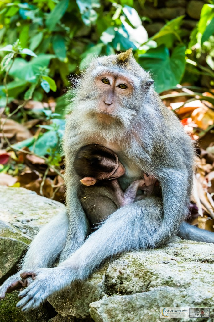 Mother and baby Balinese long-tailed monkeys at the Sacred Monkey Forest Sanctuary in Ubud, Bali in the Republic of Indonesia on Mallory on Travel adventure travel, photography, travel Iain Mallory_monkey9312