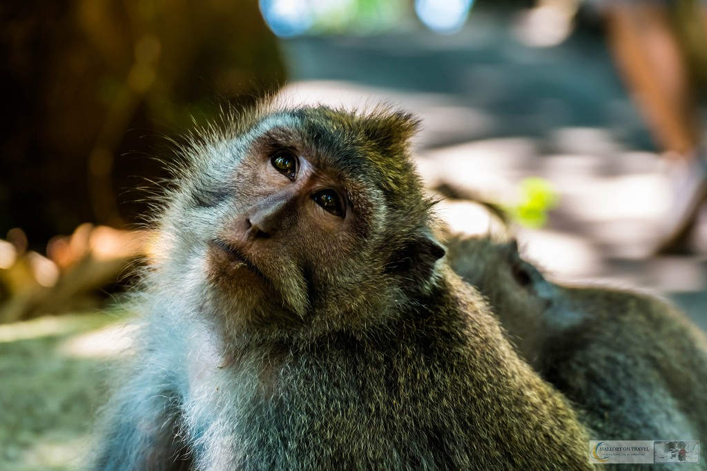 Young crab eating macaque at the Sacred Monkey Forest Sanctuary in Ubud, Bali in the Republic of Indonesia on Mallory on Travel adventure travel, photography, travel Iain Mallory_monkey9331