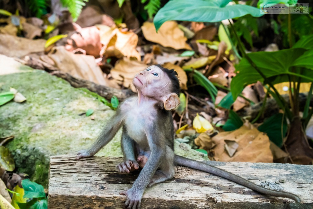 Baby crab eating macaque at the Sacred Monkey Forest Sanctuary in Ubud, Bali in the Republic of Indonesia on Mallory on Travel adventure travel, photography, travel Iain Mallory_monkey9346