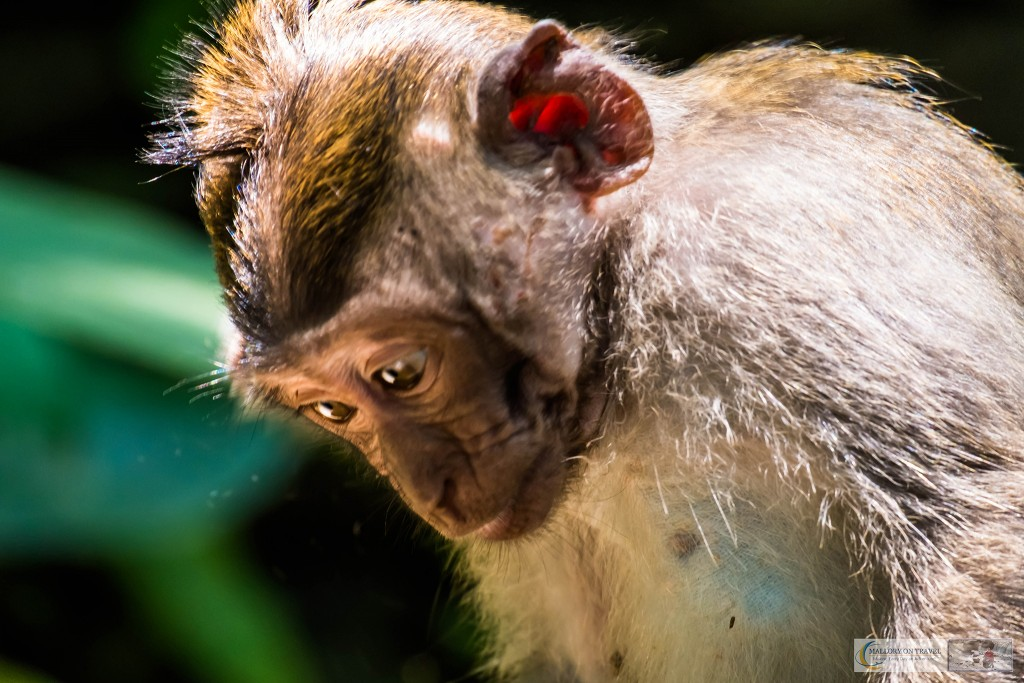 Young Balinese long-tailed monkeys at the Sacred Monkey Forest Sanctuary in Ubud, Bali in the Republic of Indonesia on Mallory on Travel adventure travel, photography, travel Iain Mallory_monkey9361