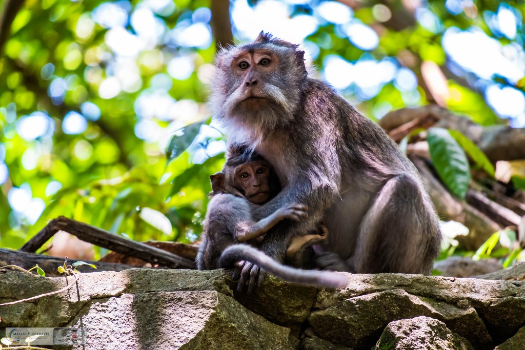 Adult and young crab eating macaque at the Sacred Monkey Forest Sanctuary in Ubud, Bali in the Republic of Indonesia on Mallory on Travel adventure travel, photography, travel Iain Mallory_monkey9393